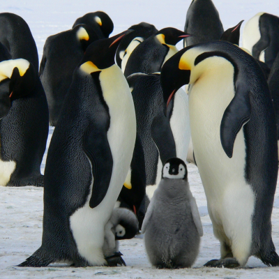 A photo of a group of penguins